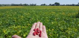 New kidney bean cultivar held near field trial