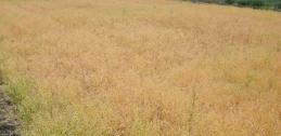 Camelina field close to harvest