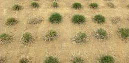 turfgrass in field