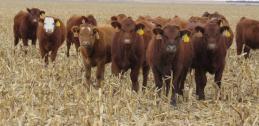 corn residue and heifers grazing