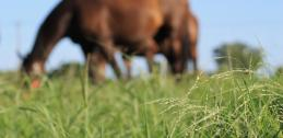 Horse grazing on warm-season forage