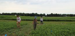 Researchers clean up edges of divided cowpea plot