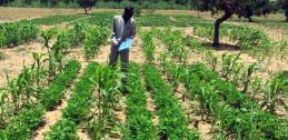 Sorghum and groundnut intercropping in Sahel of West Africa