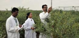 Recording plant growth data in pigeonpea field, India