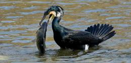 Cormorant with fish in reservoir