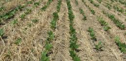 Dry bean among rye cover crop residue