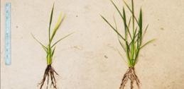 Comparing rice plants