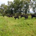 Cattle grazing in pasture