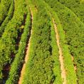 Coffee and macadamia intercropping in Brazil
