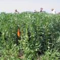 Faba bean field near Edmonton, Alberta, Canada