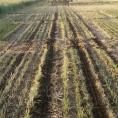 Strip till field with triticale