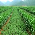 Maize and chili intercropping in China