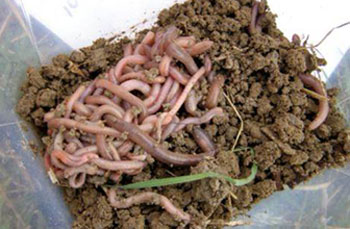 collected earthworms