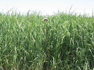 Picture of person in switch grass field