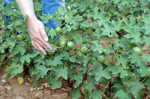 Hand next to cotton plant with green cotton bolls in field