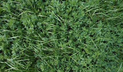 Alfalfa and grass mix in forage field