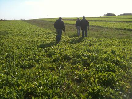Three researchers walking in radish field