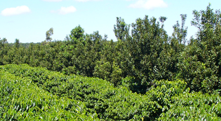 Coffee (left) and macadamia (right) intercropping in Brazil