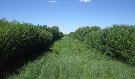 Alley crop system with willow, poplar, and perennial biomass crops