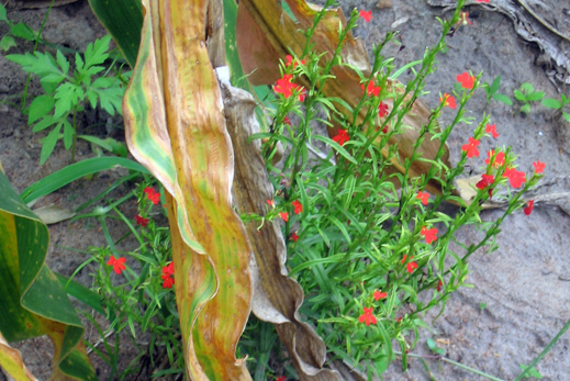 Vibrant red-flowered Striga growing in field with brown and yellow corn leaves