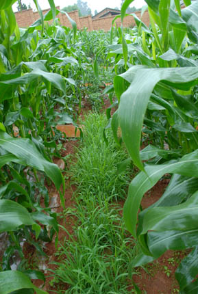 Corn/maize grown with setaria grass in China