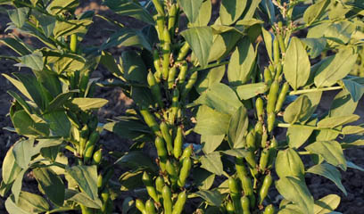 Hardy faba bean plants after winter