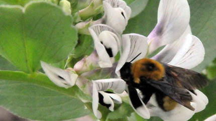 The strong, sweet smell of faba bean flowers attracts pollinators such as bees