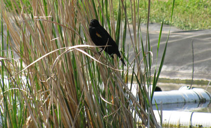 Red wing black bird on cattails