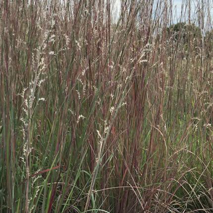 Hierbas de pradera de tallgrass, bluestem poco y big bluestem, creciendo en una pradera reconstruida.