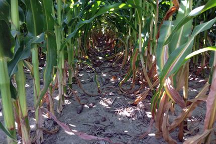 Vista cercana de tallos de dos hileras de maíz.  La fila izquierda es verde oscuro, la fila derecha es verde claro con franjas blancas a través de las hojas.