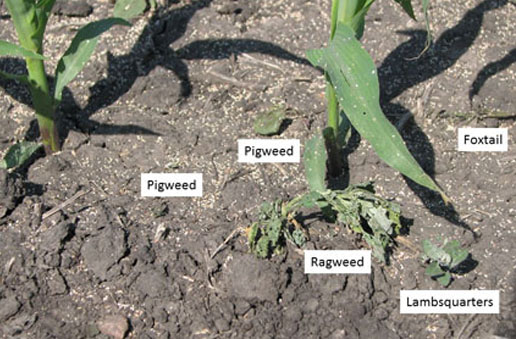 Ragweed, lambsquarters and pigweed after blasting