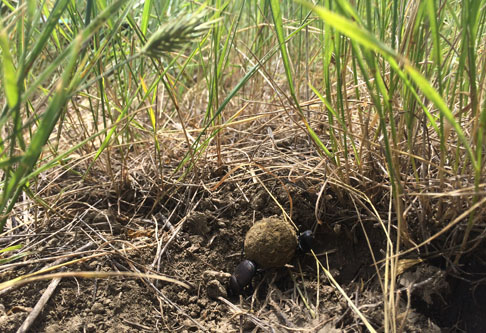 Dung beetle in soil