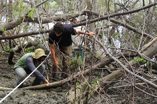 Scientists measure soil near mangrove tree roots