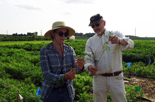 Two crop breeders in carrot field with carrot greens in hands