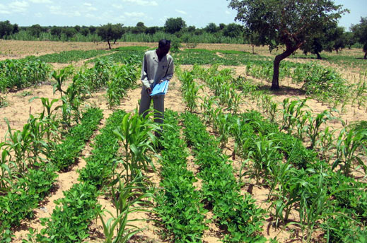 Sorghum and groundnut intercropped in Sahel of West Africa