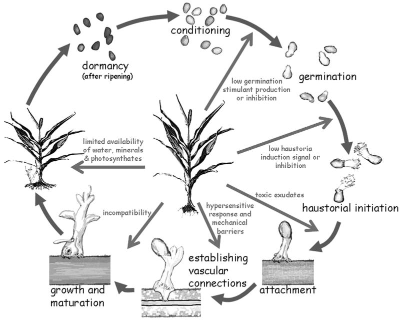 Zea mays life cycle for Soil life cycle
