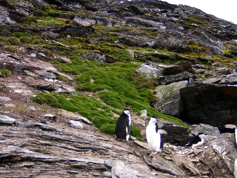 Penguins standing on patch of Antarctic hair grass